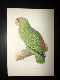 Greene Parrots in Captivity 1887 HC Bird Print. Festive Amazon Parrot